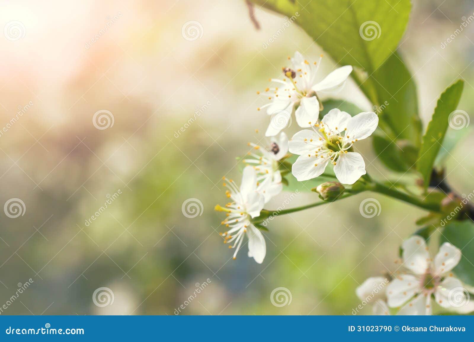 Körsbärsröd blomning