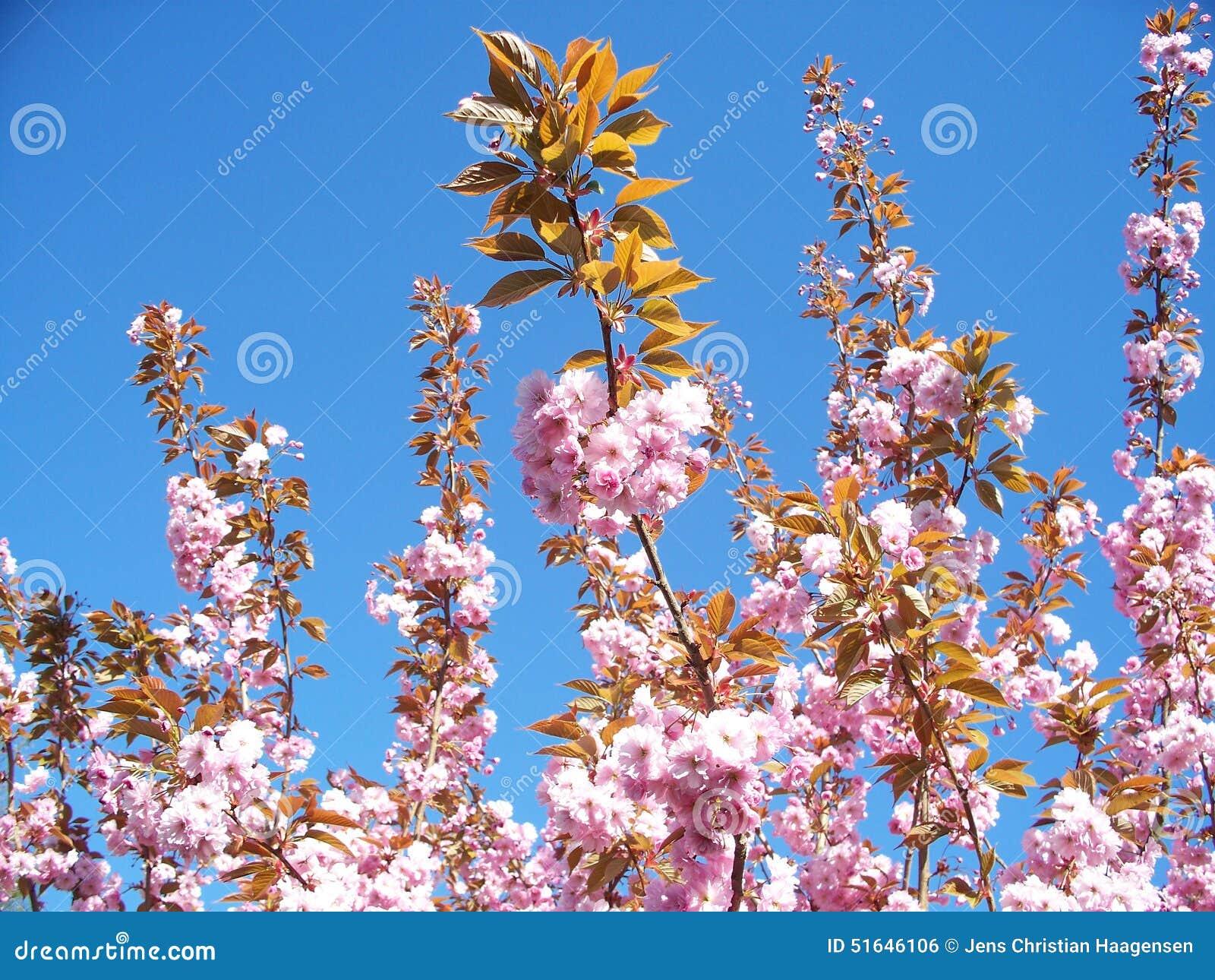 Körsbärsröd Tree
