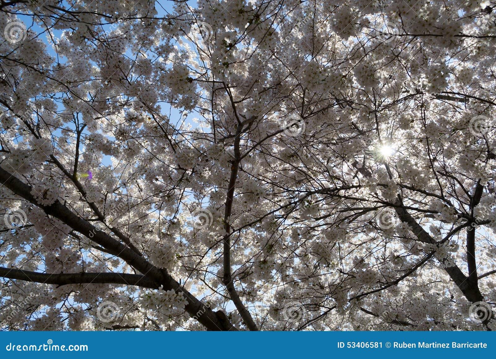 Körsbärsröda blomningar som täcker solen