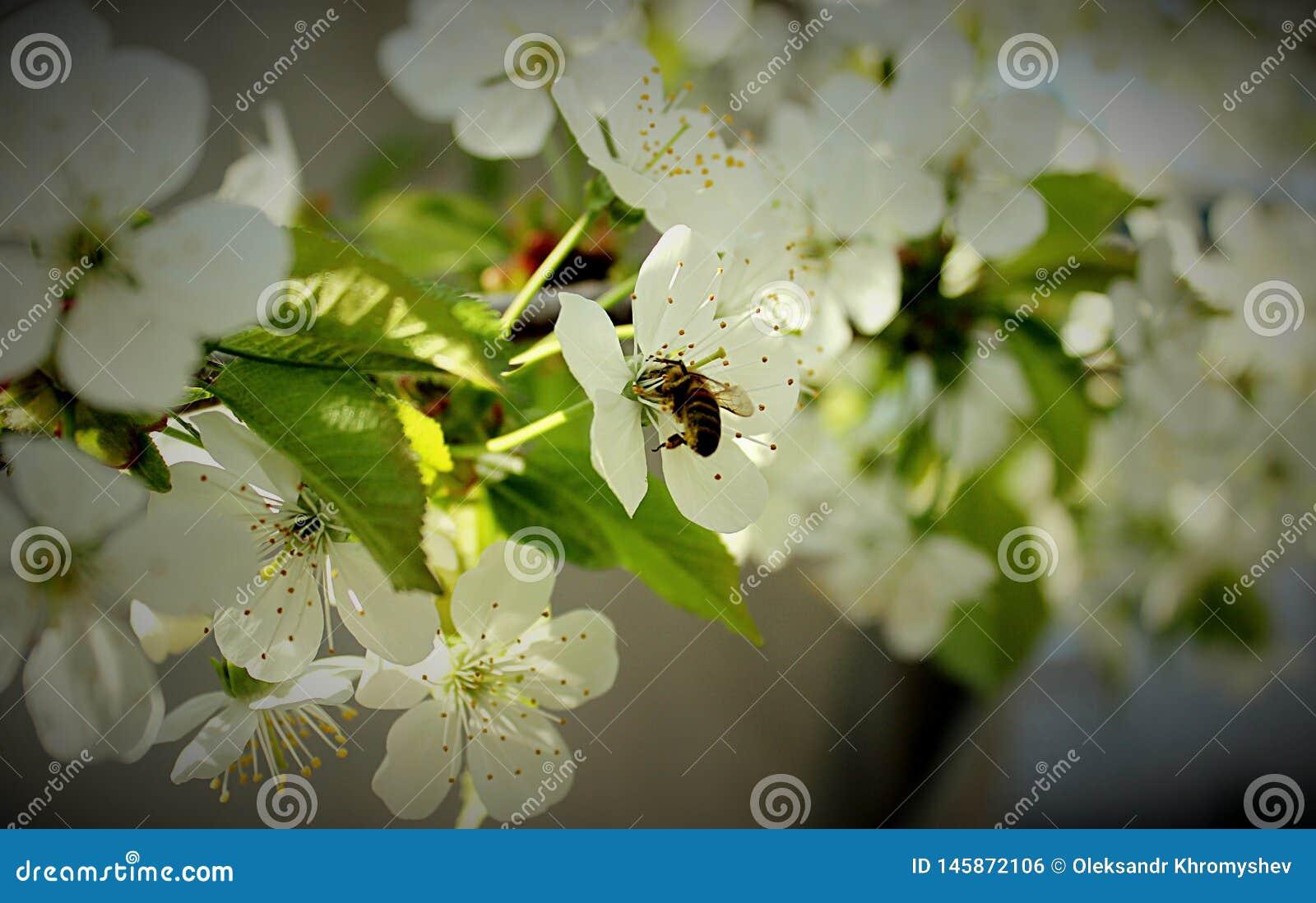 Körsbärsröda blomningar utan bin vilar inte arbete hela dagen