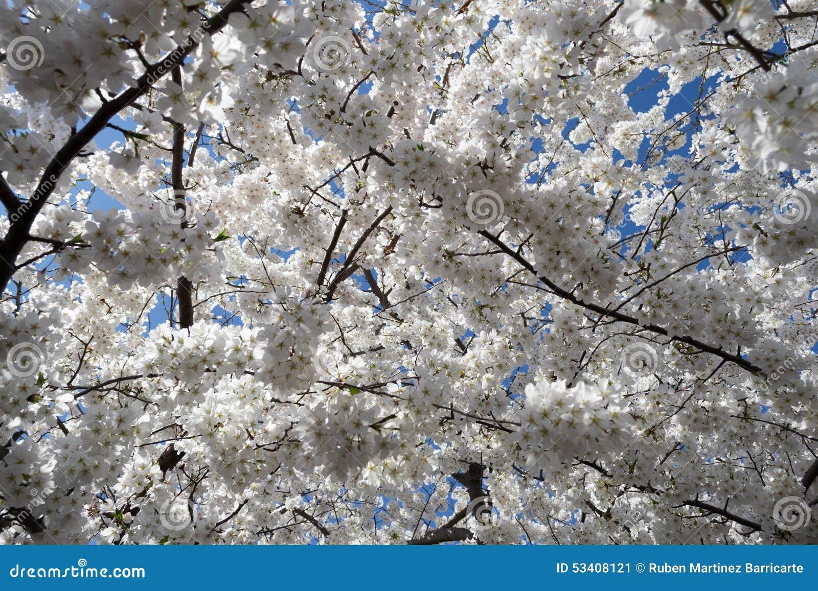 Körsbärsröda Treeblommor