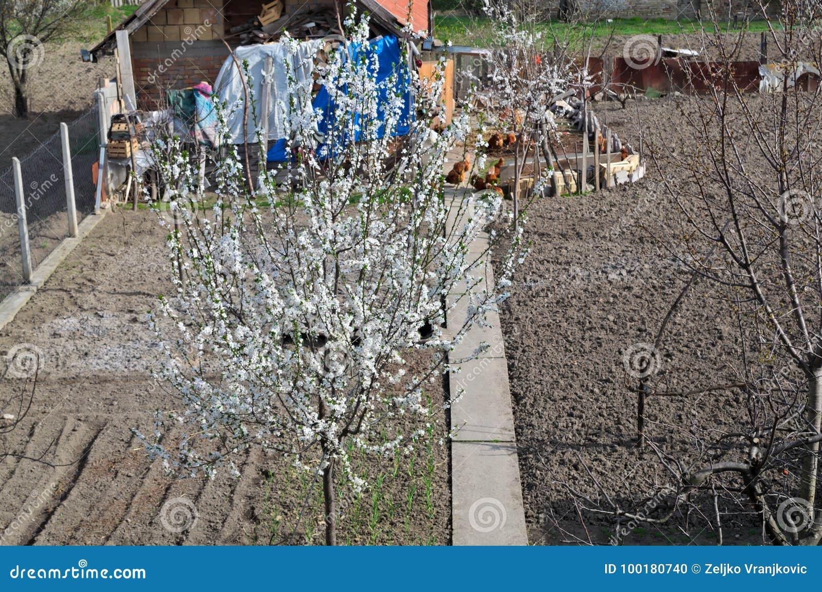 Körsbärsrött trädblomma och höna i trädgård