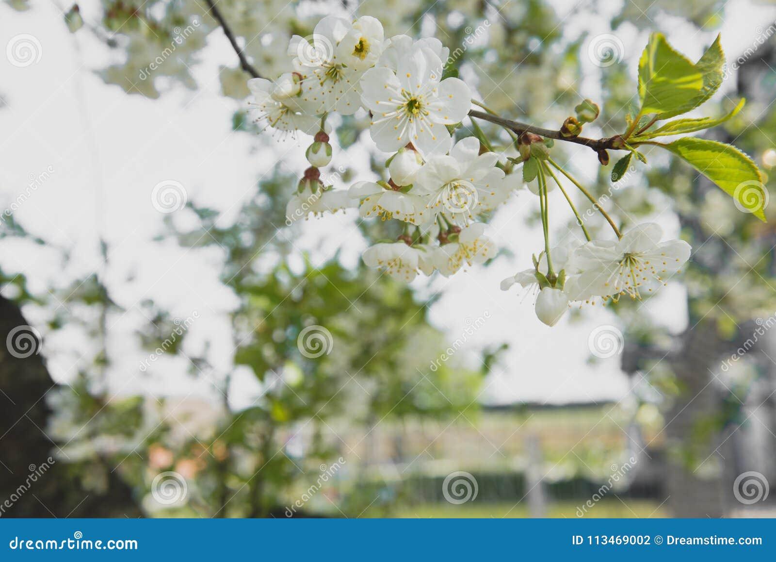Körsbärträdgård Vårblomningbakgrund - abstrakt blom- gräns av gräsplansidor och vita blommor