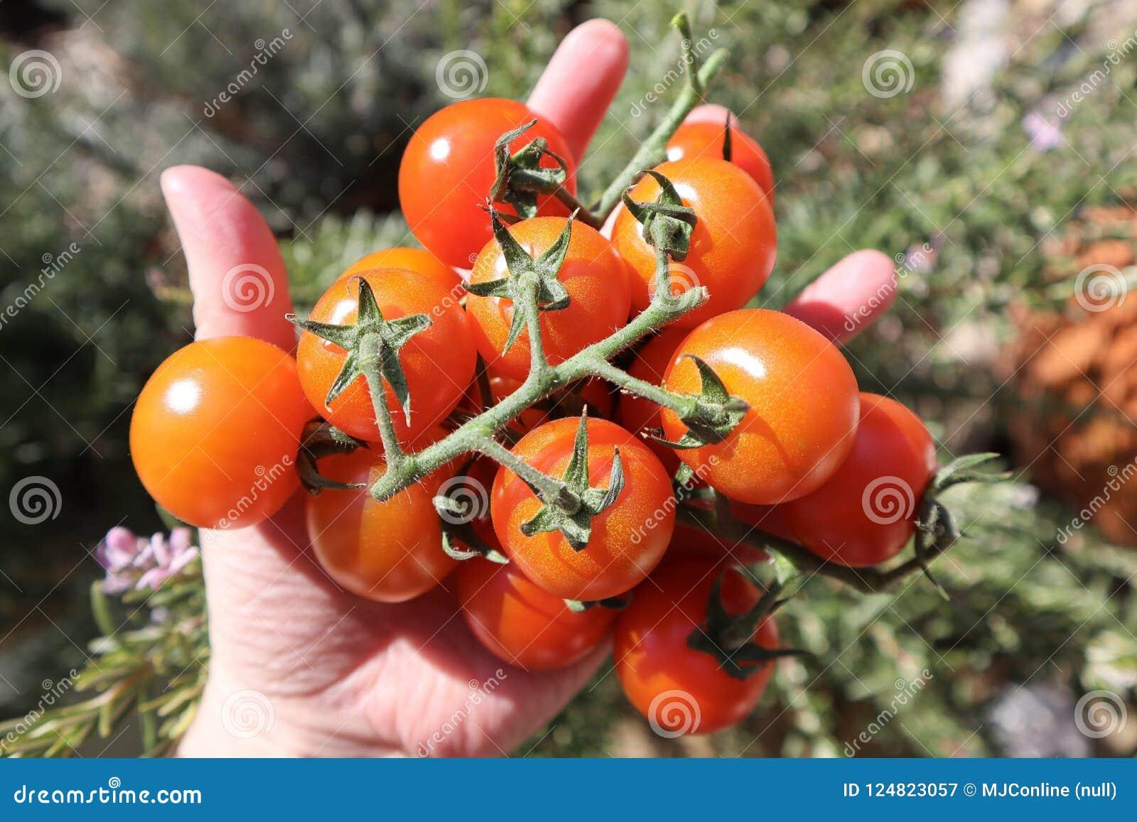 Köstlicher saftiger roter Cherry Tomatoes Homegrown