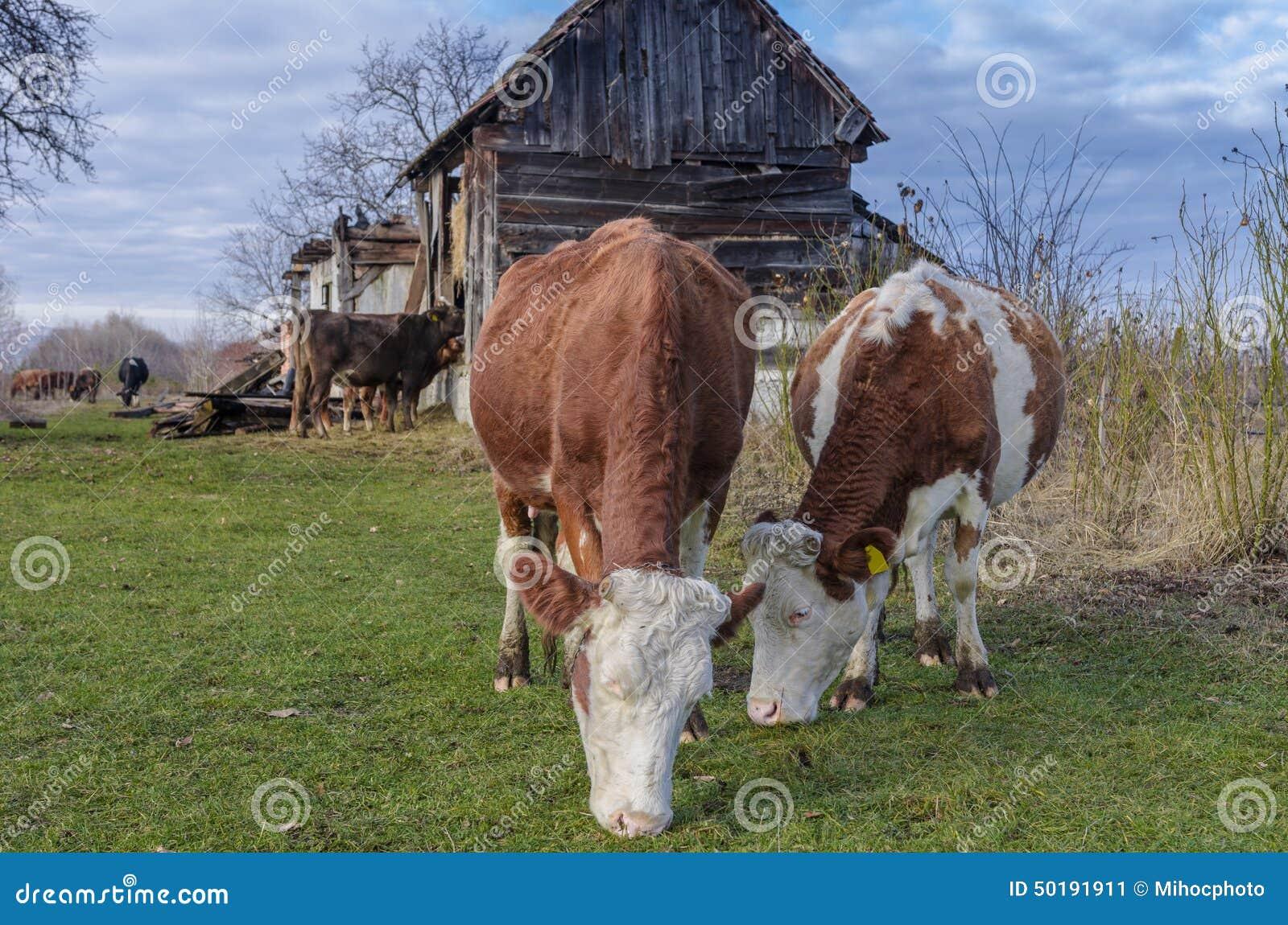Kühe am ökologischen Bauernhof