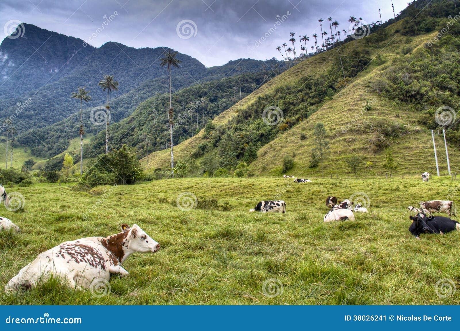 Kühe am Cocora-Tal