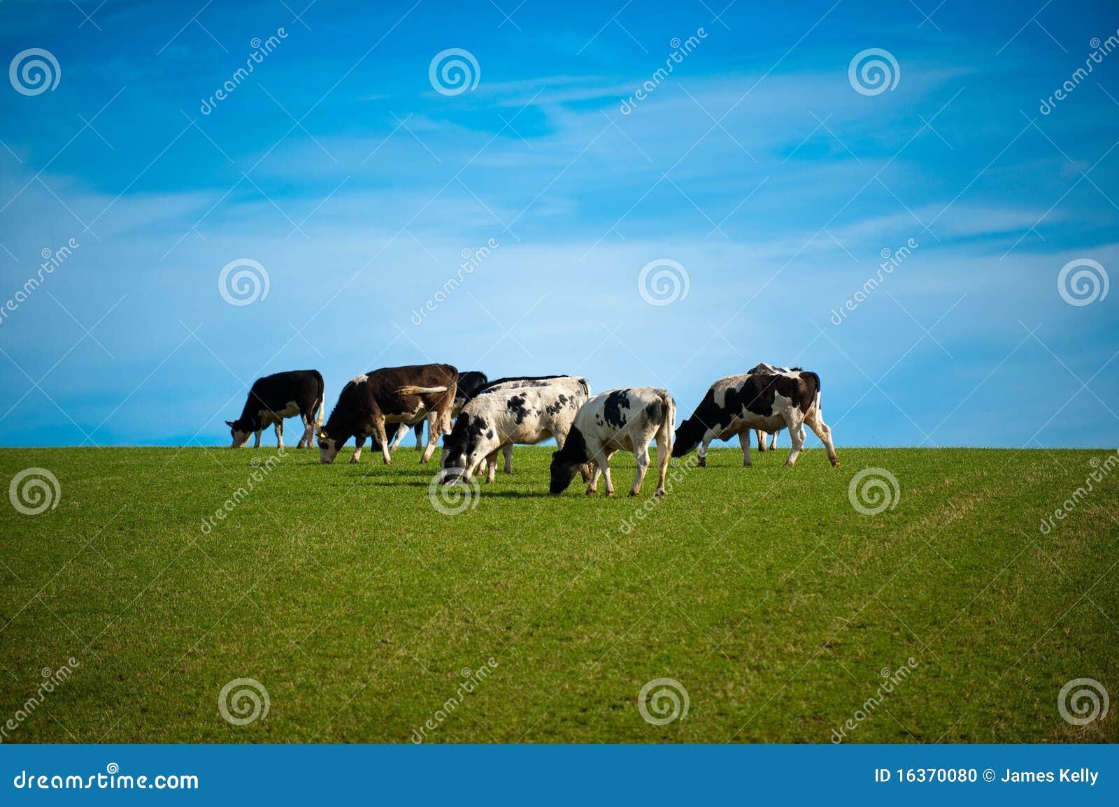 Kühe in der grünen Weide