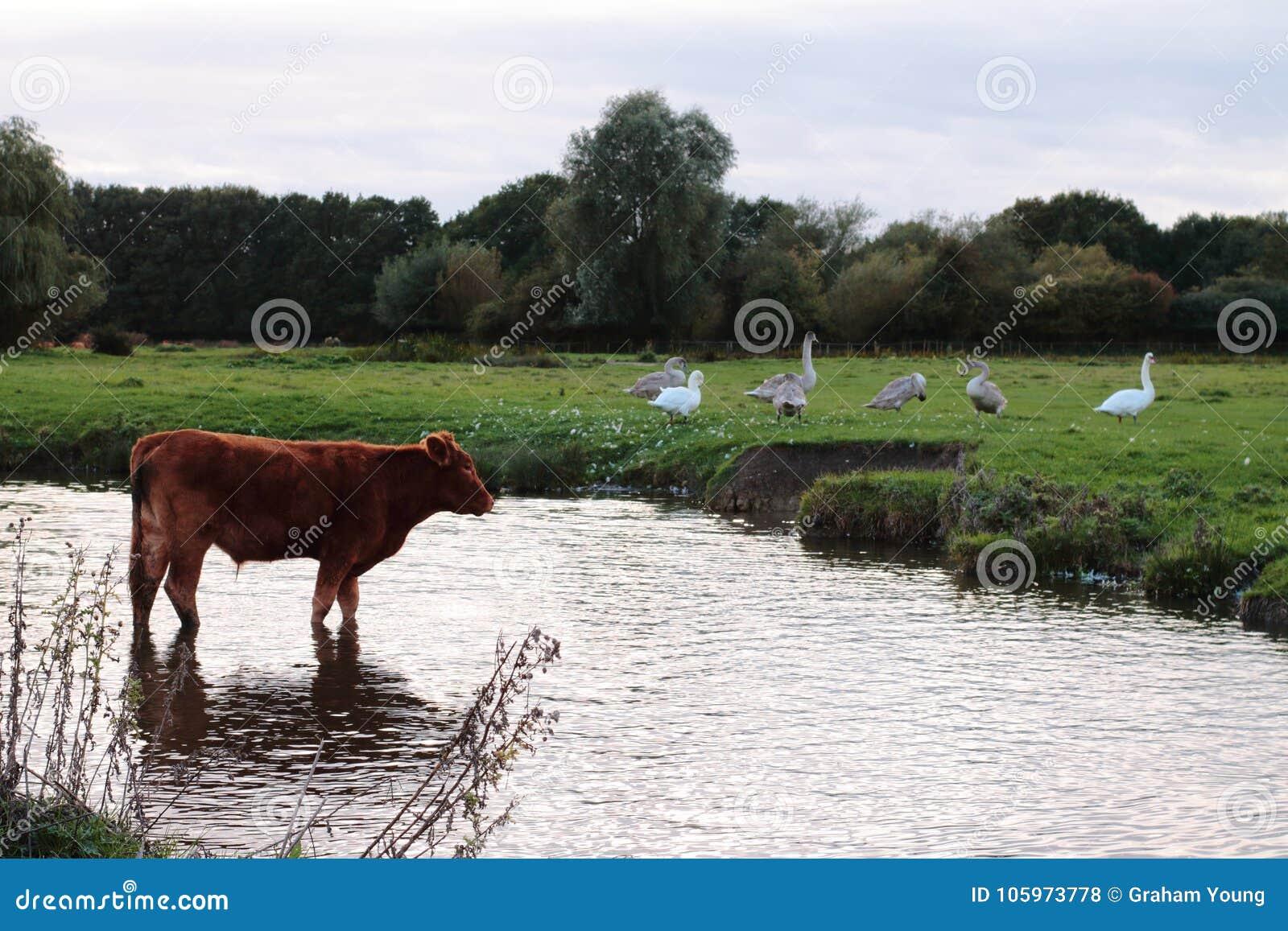 Kühe in der Wiese, die im Wasser badet