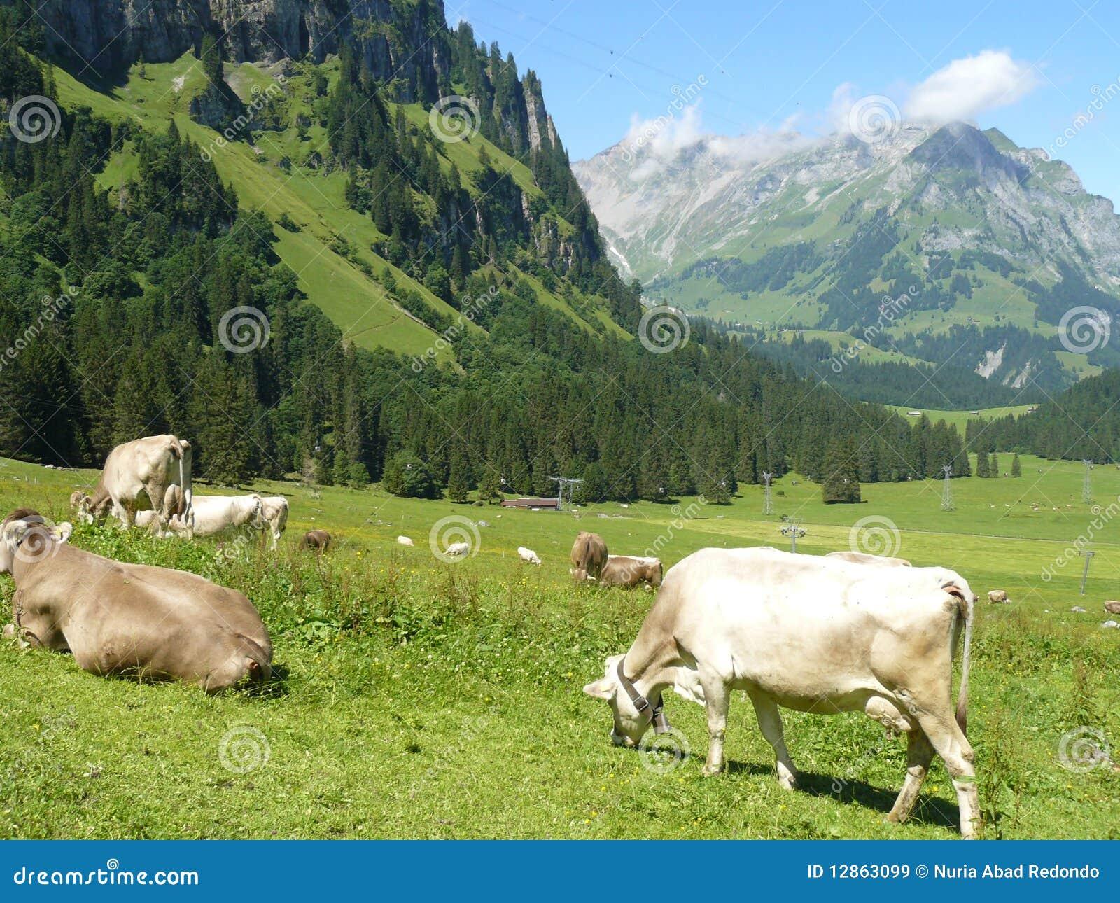 Kühe, die in der Wiese weiden lassen