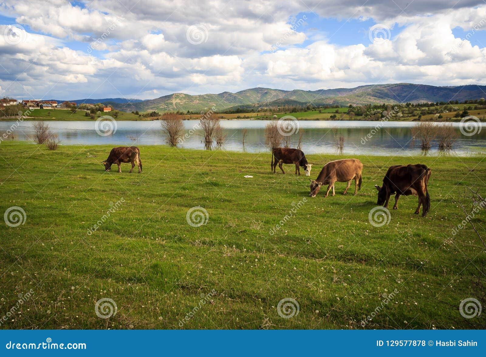 Kühe, die in einer grünen Wiese weiden lassen