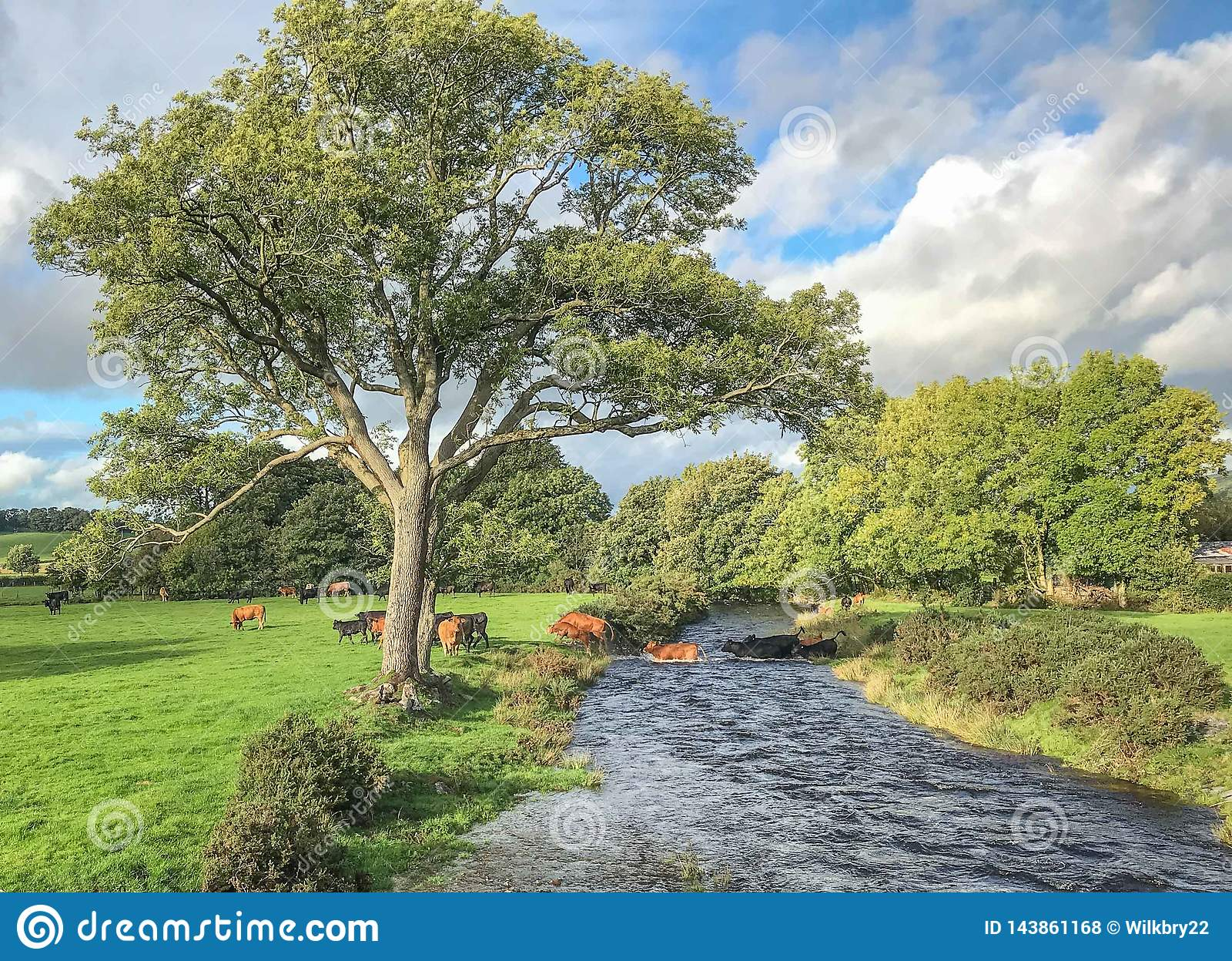 Kühe, die Fluss kreuzen