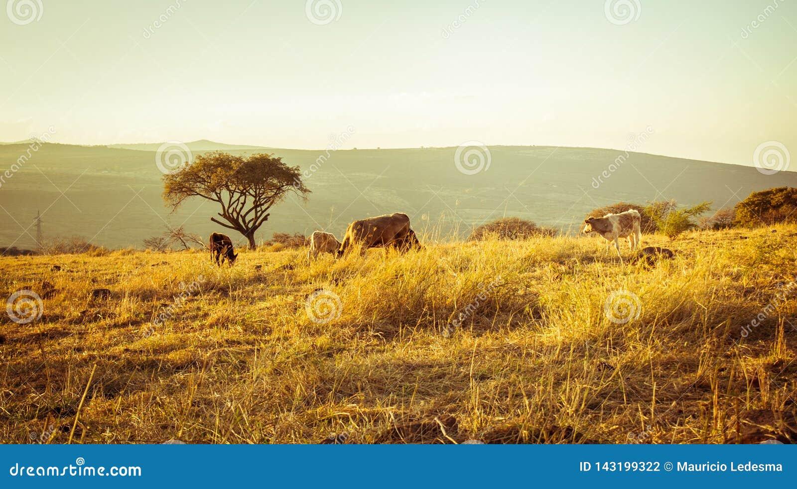 Kühe, die Gras auf der Wiese bei Sonnenuntergang essen
