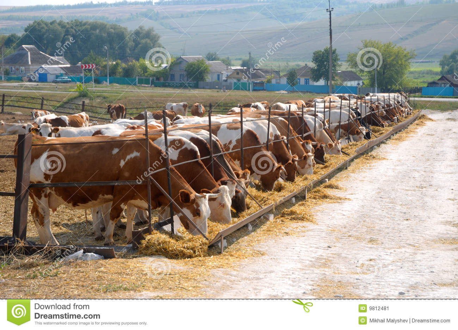 Kühe, die Heu essen