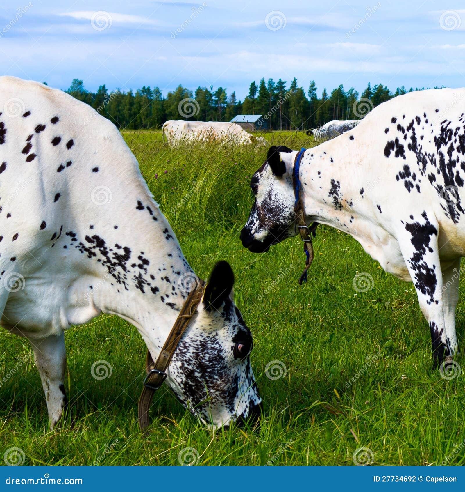 Kühe, die innen weiden lassen