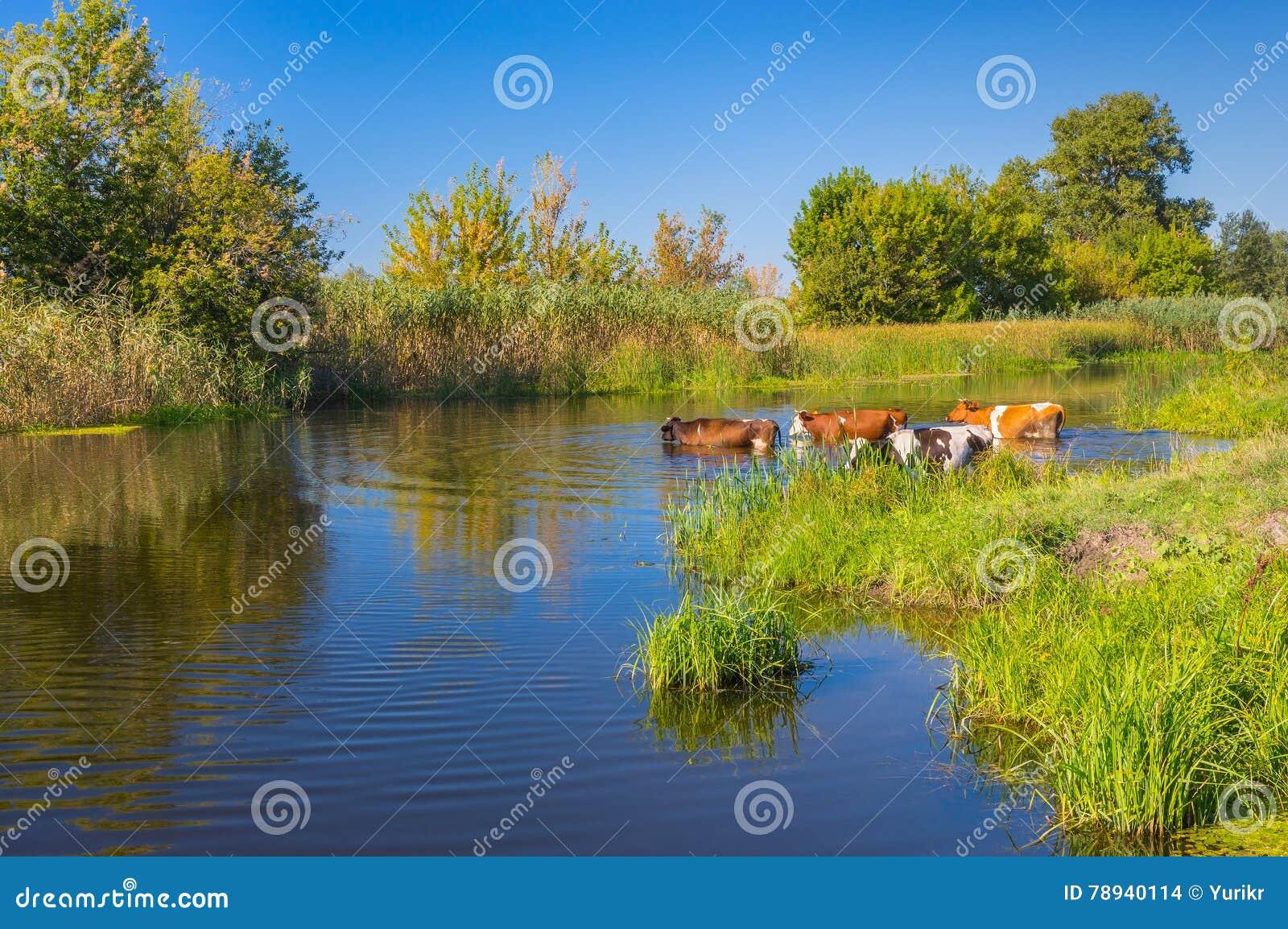 Kühe, die Wasserbehandlung im ukrainischen Fluss Merla des Sommers haben