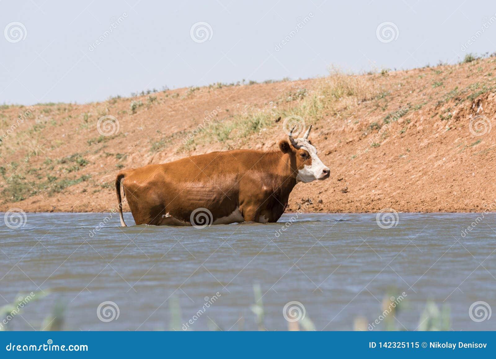 Kühe an einem Wasserentnahmestellegetränkwasser und während der starken Hitze und der Dürre baden