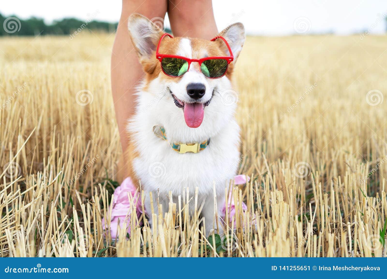 Kühler Waliser-Corgi Pembrokehund, der im Urlaub rote Sonnenbrille für einen Weg mit seinem Meister trägt