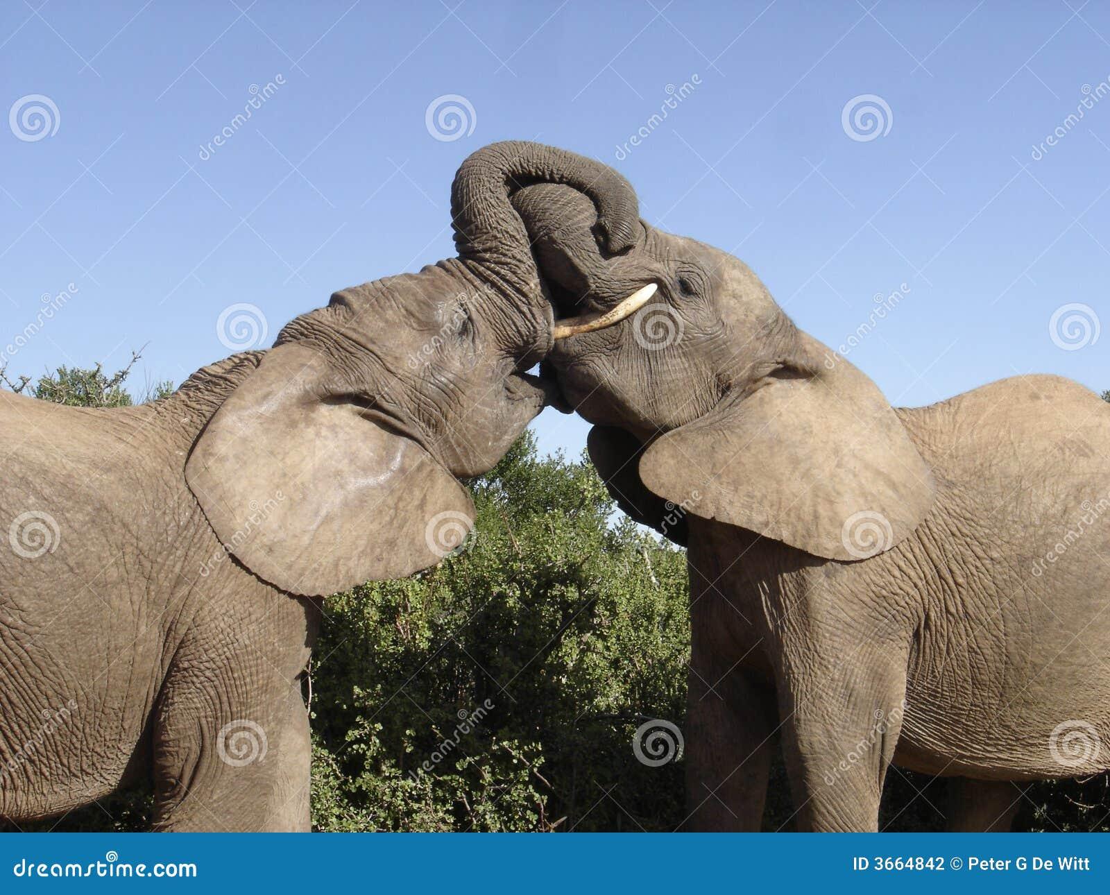 Jugendelefanten die im addo elefant nationalpark spielen