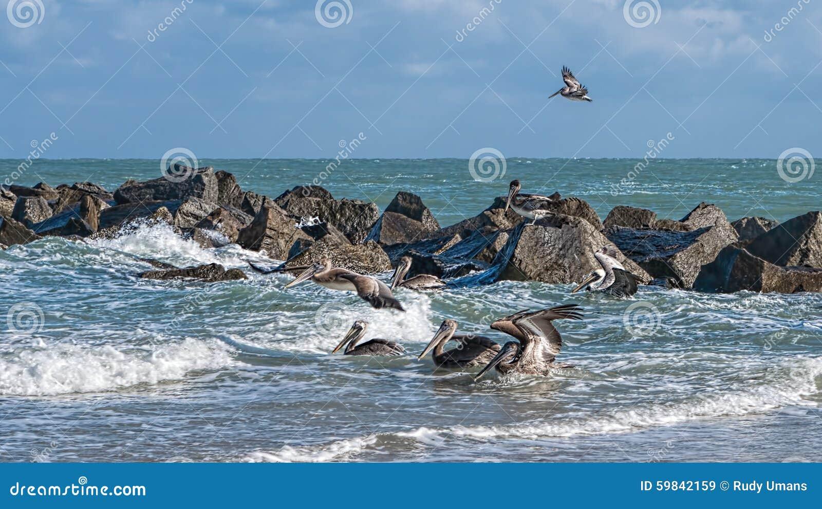 Küsten-Brown-Pelikane