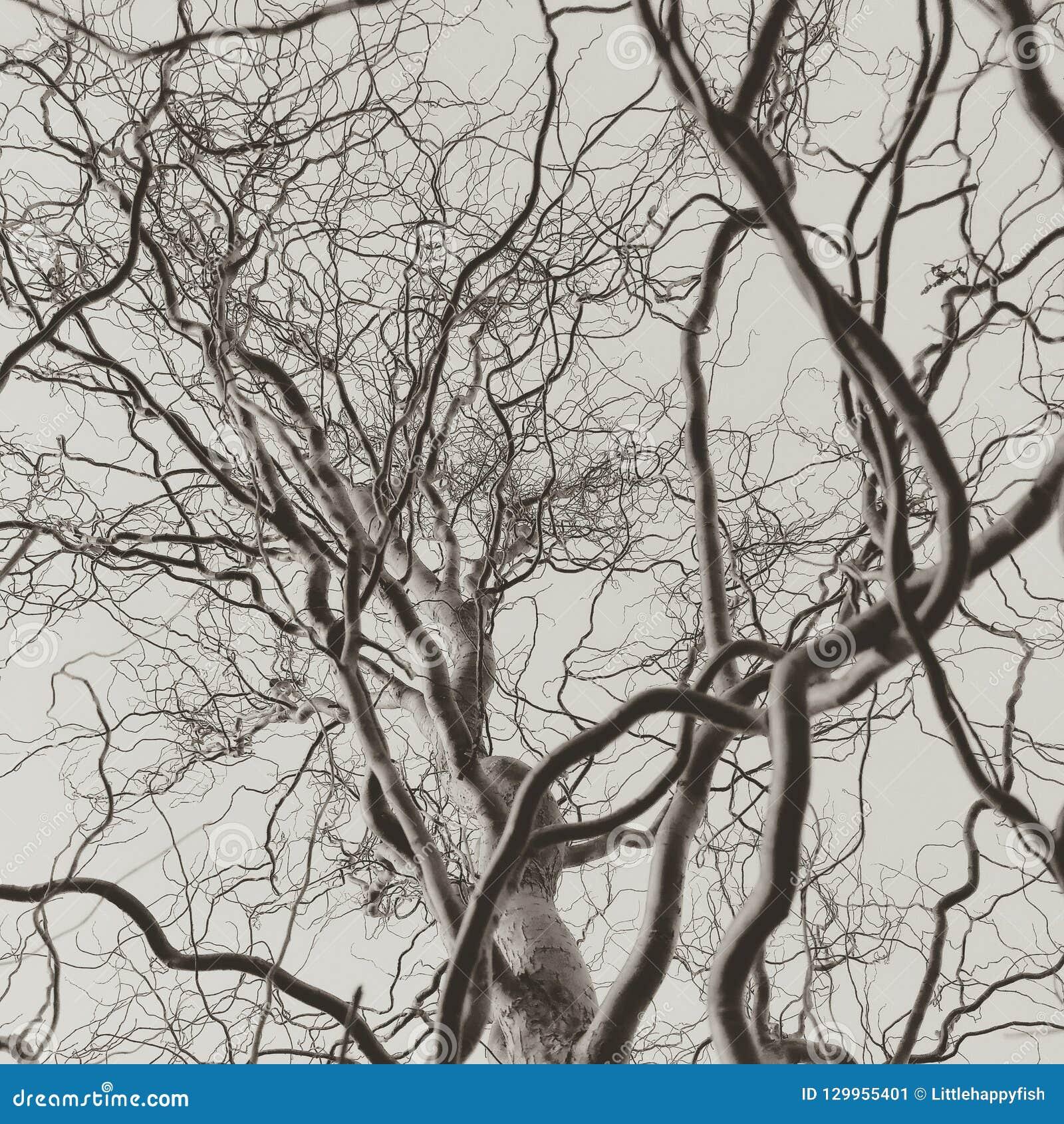 Kędzierzawe corkscrew wierzbowego drzewa nagie gałąź monochromatyczne