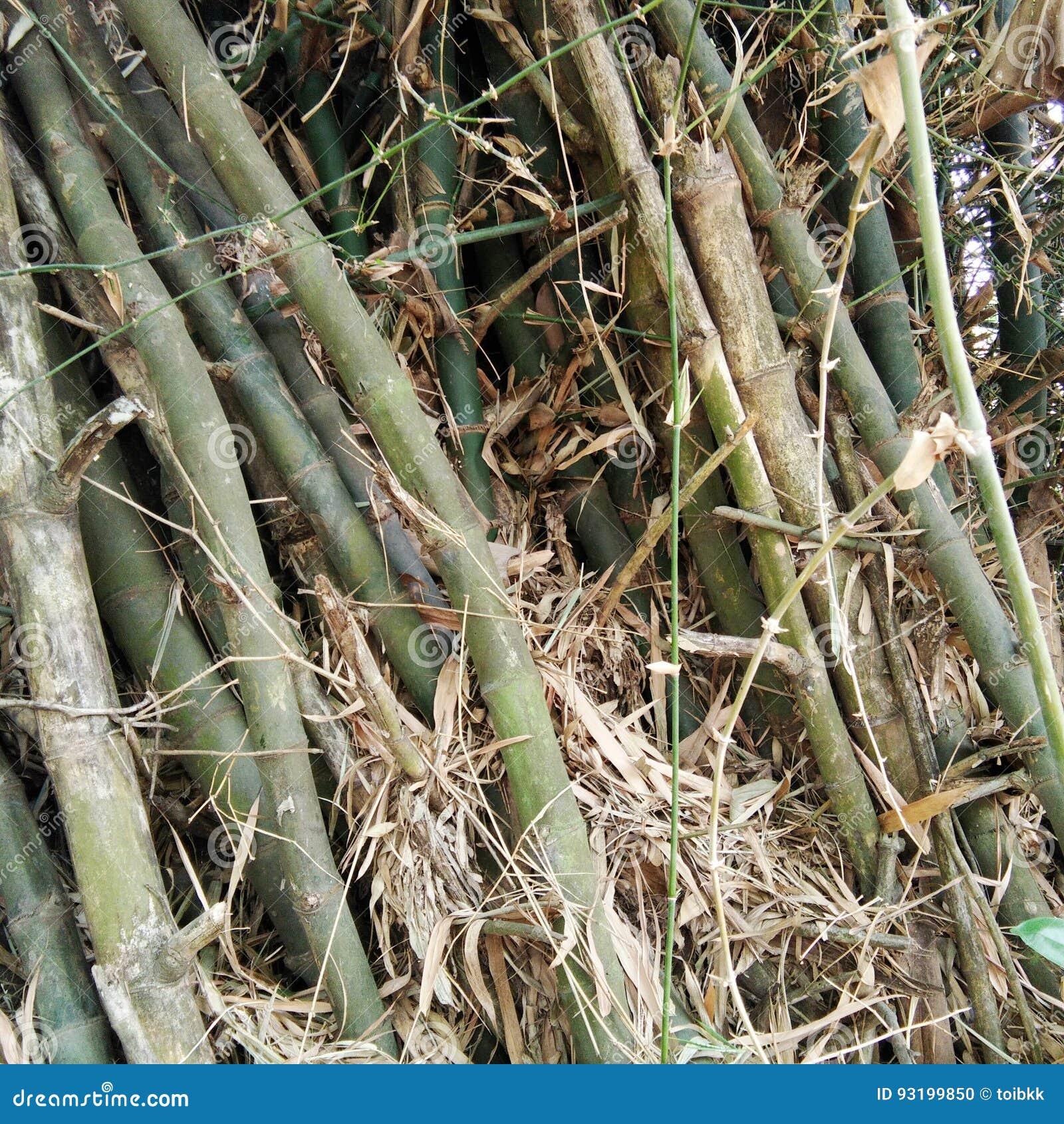 Kępa bambus