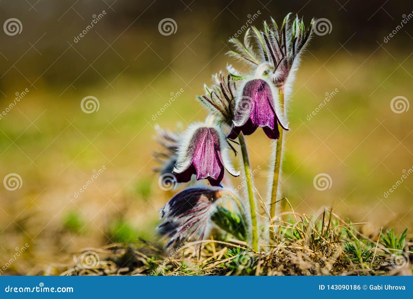 Kępa piękni wiatrowi kwiaty, łąkowy anemon
