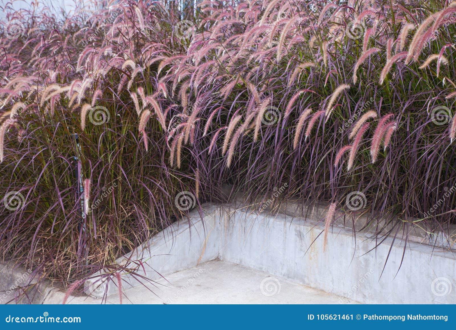 Kępa różowa trawa