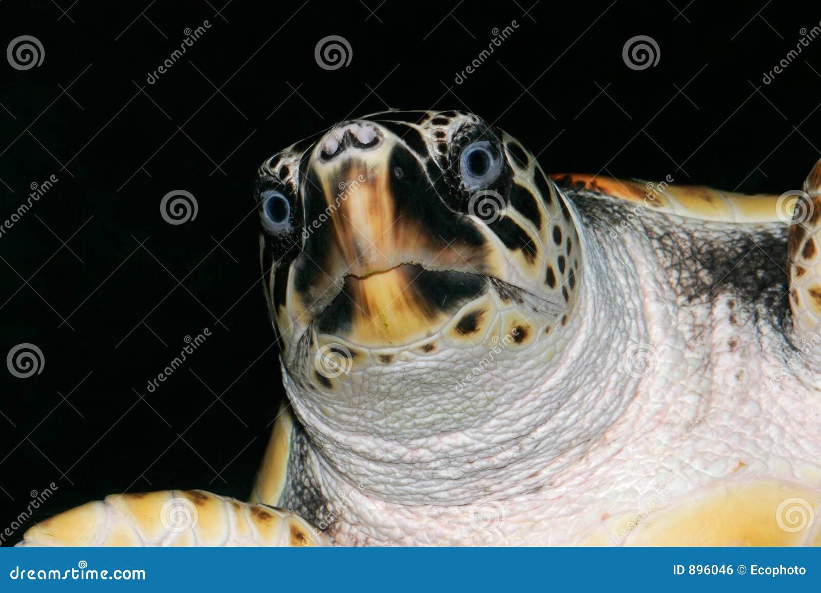 Kłótnia żółwia