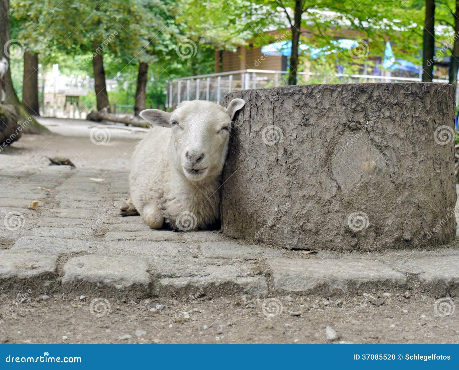 Download Kłamać baraniego tło zdjęcie stock. Obraz złożonej z farm - 37085520