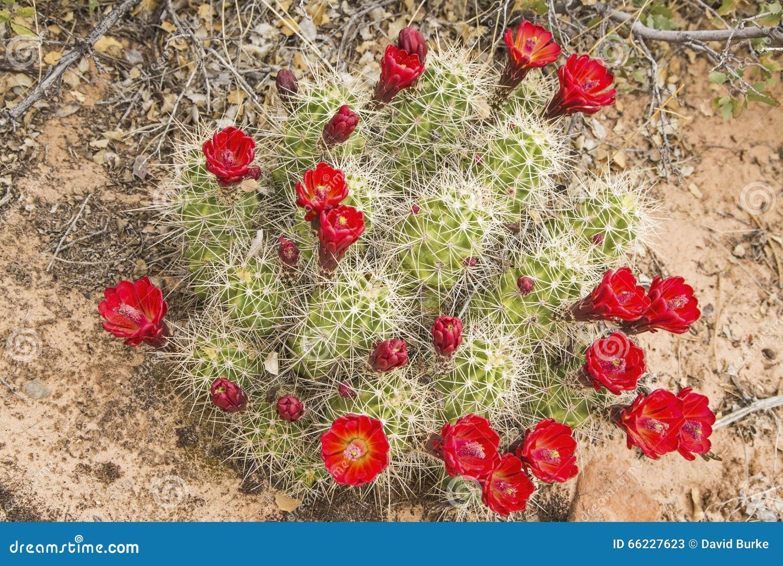 Kłującej bonkrety kaktusa okwitnięć czerwona pustynia