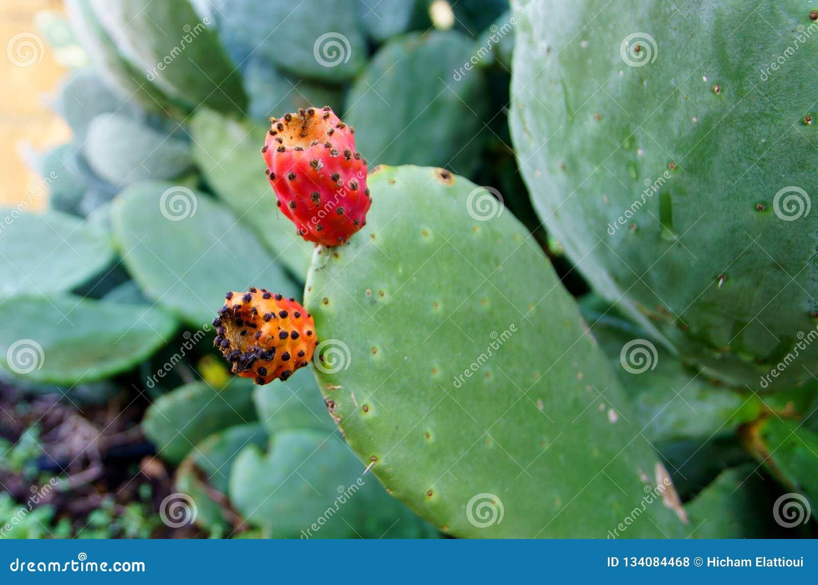 Kłującej bonkrety kaktusa zakończenie up z owoc w czerwonym kolorze