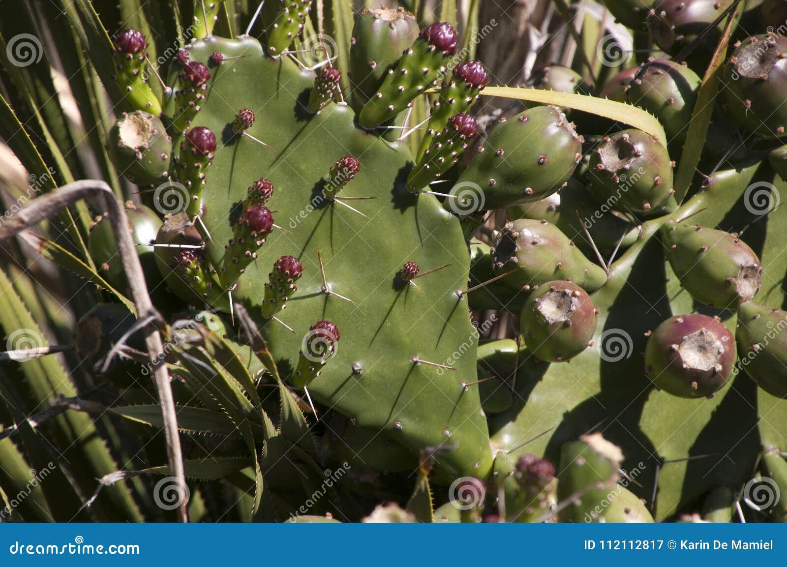 Kłującej bonkrety liść z owoc i kwiatu pączkami