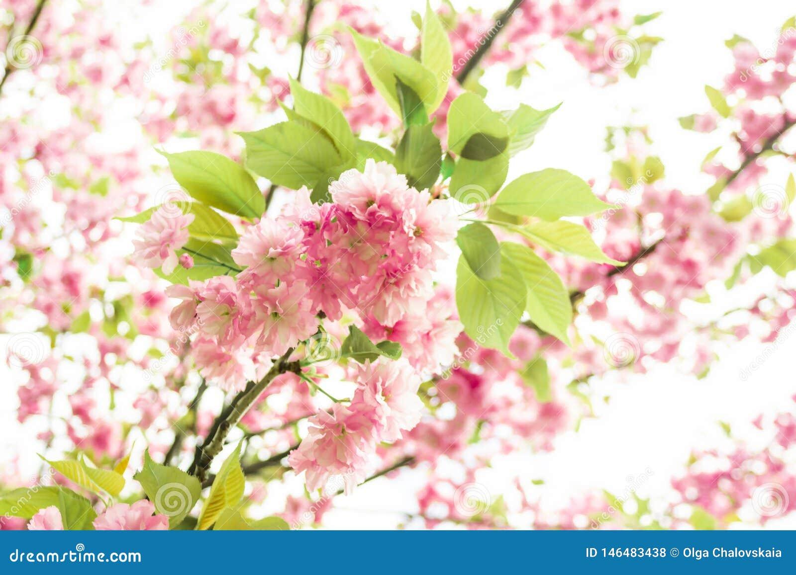 K?rsb?rsr?da blomningar f?r v?r, rosa f?rgblommor Sakura