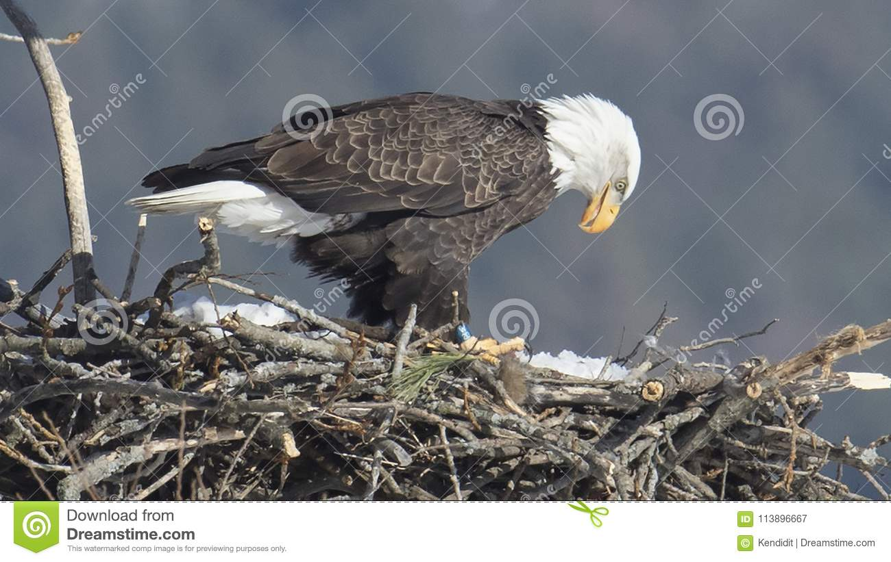 Kaal Eagle Contemplating Spring Snow