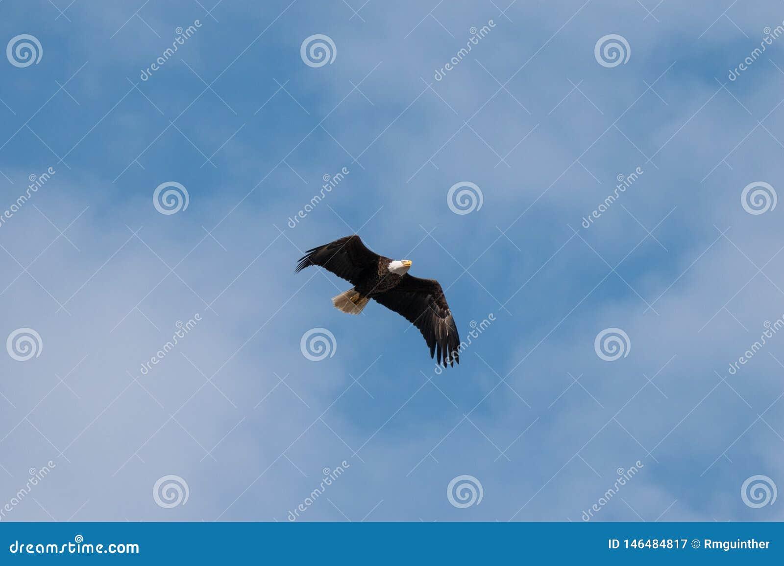 Kaal Eagle dat op zoek naar voedsel vliegt