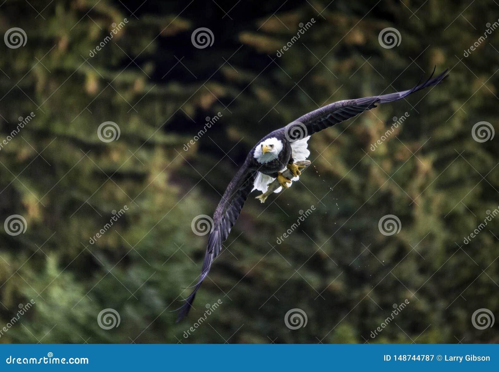 Kaal Eagle met vissen in Alaska