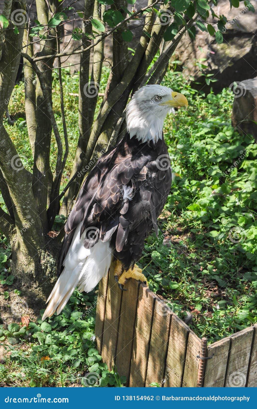 Kaal Eagle Profile Full Length