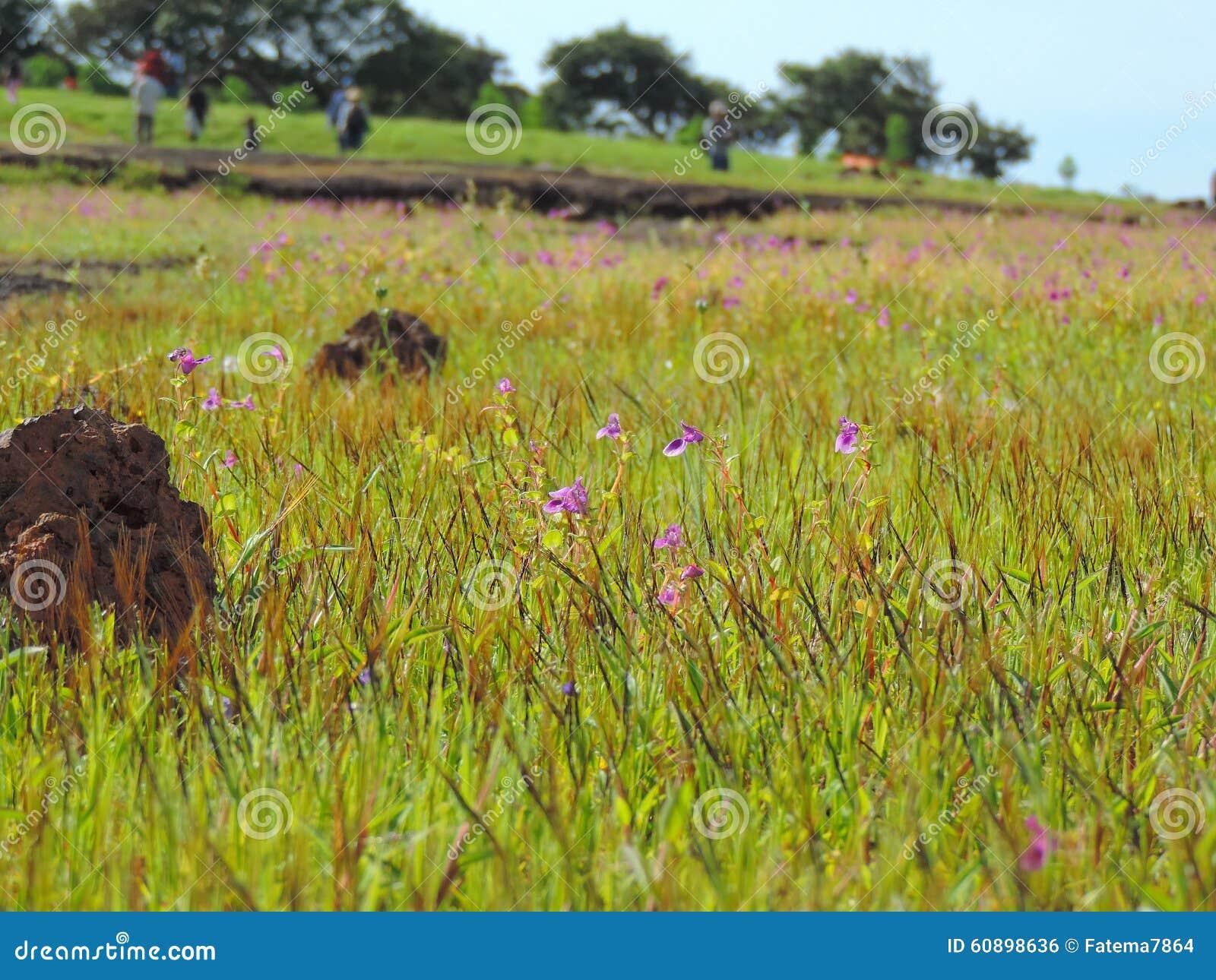Kaas platå - dal av blommor i maharashtraen, Indien