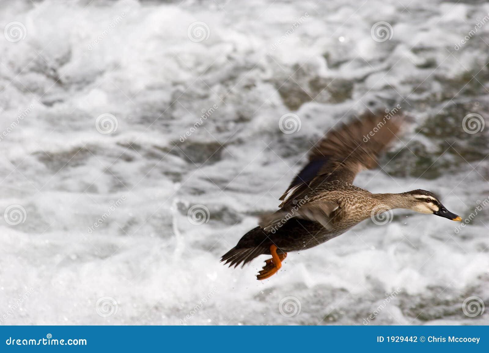 Kaczki lądowanie