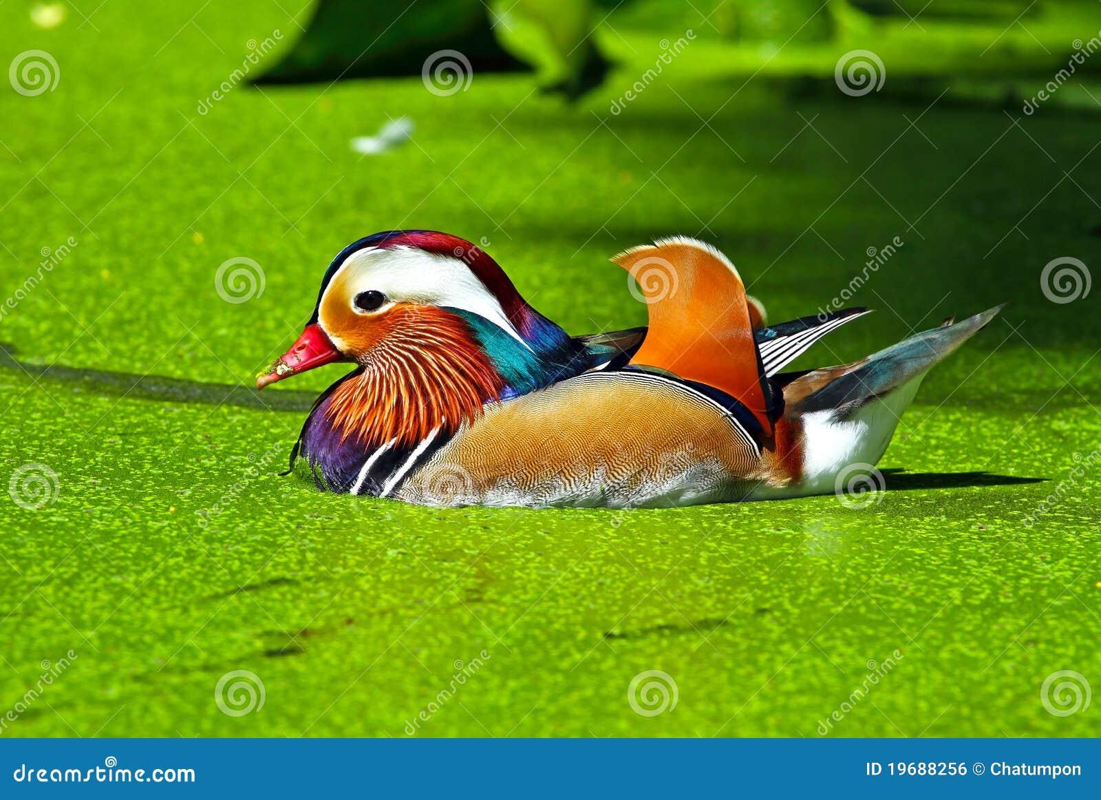 Kaczki mandarynka