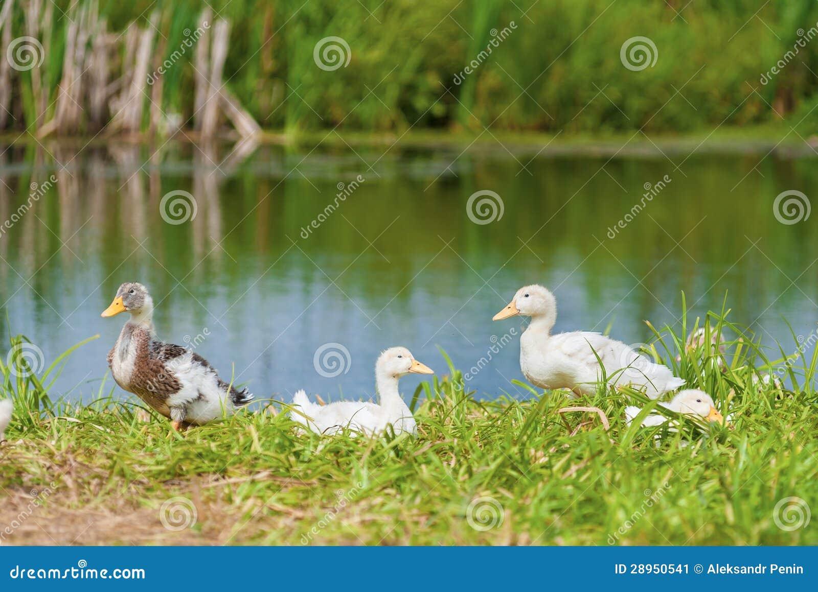 Kaczki na brzeg