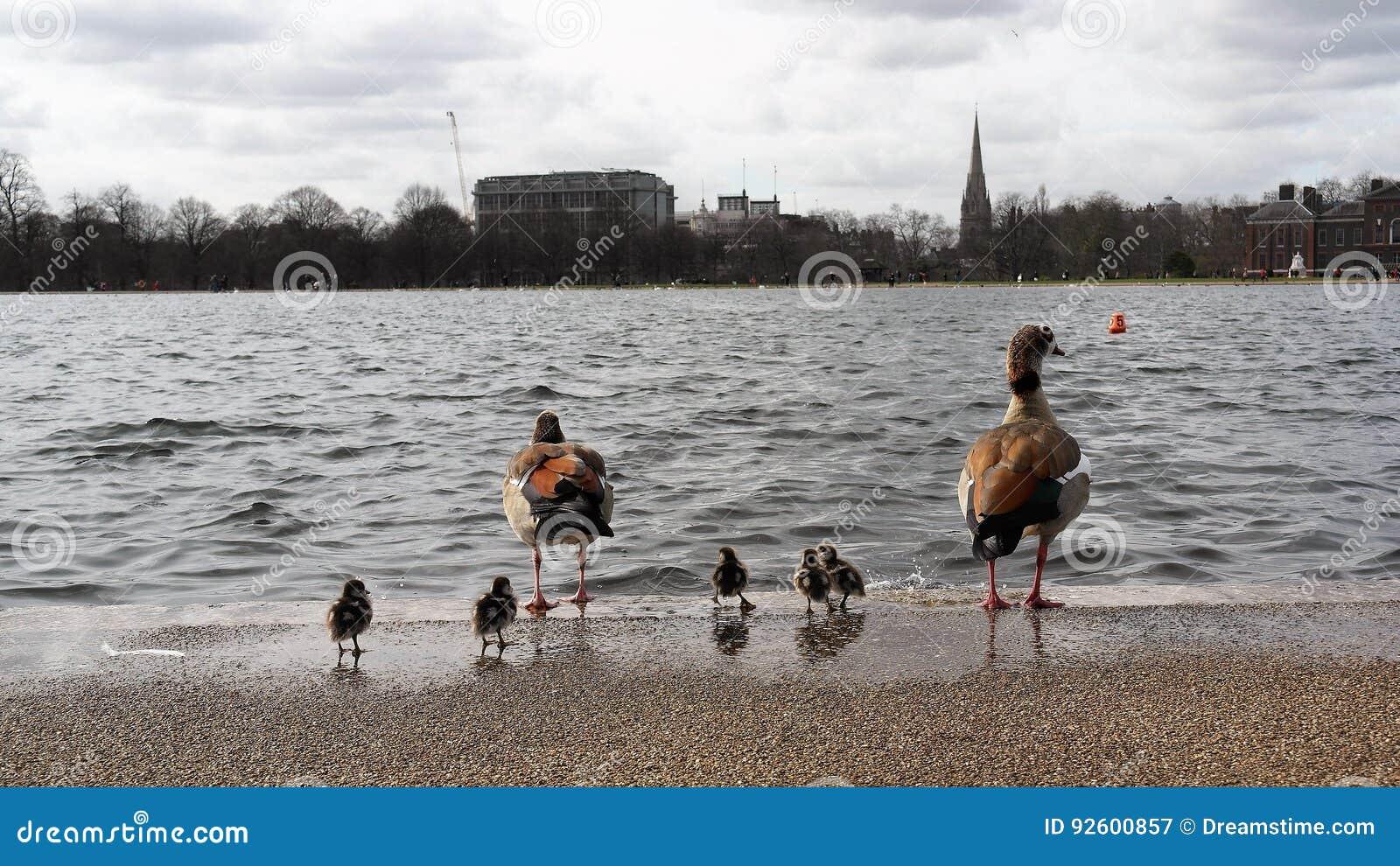 Kaczki rodzina