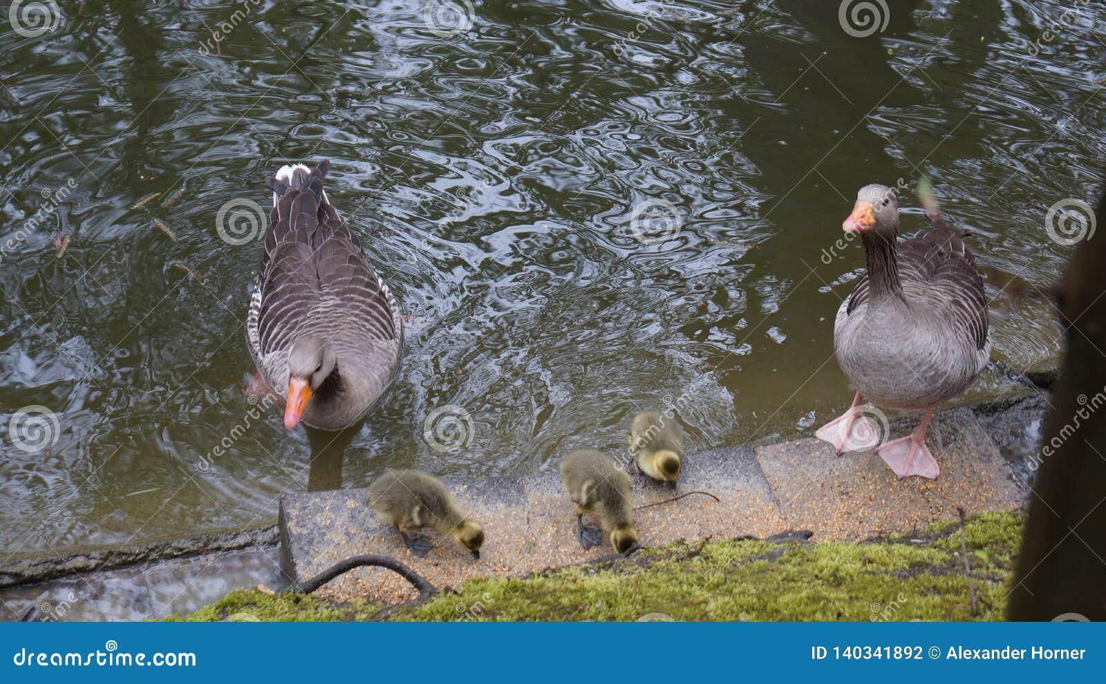 Kaczki rodzina w stawów ostrożnych rodzicach