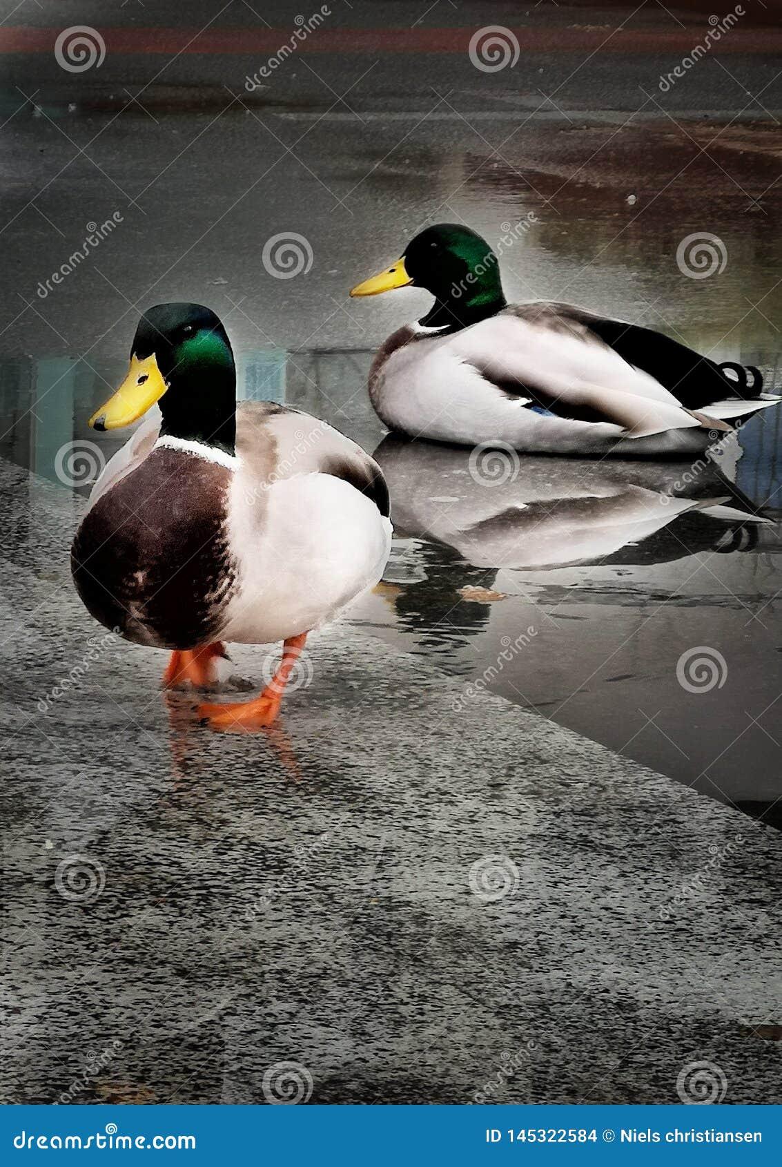 Kaczki w wodzie