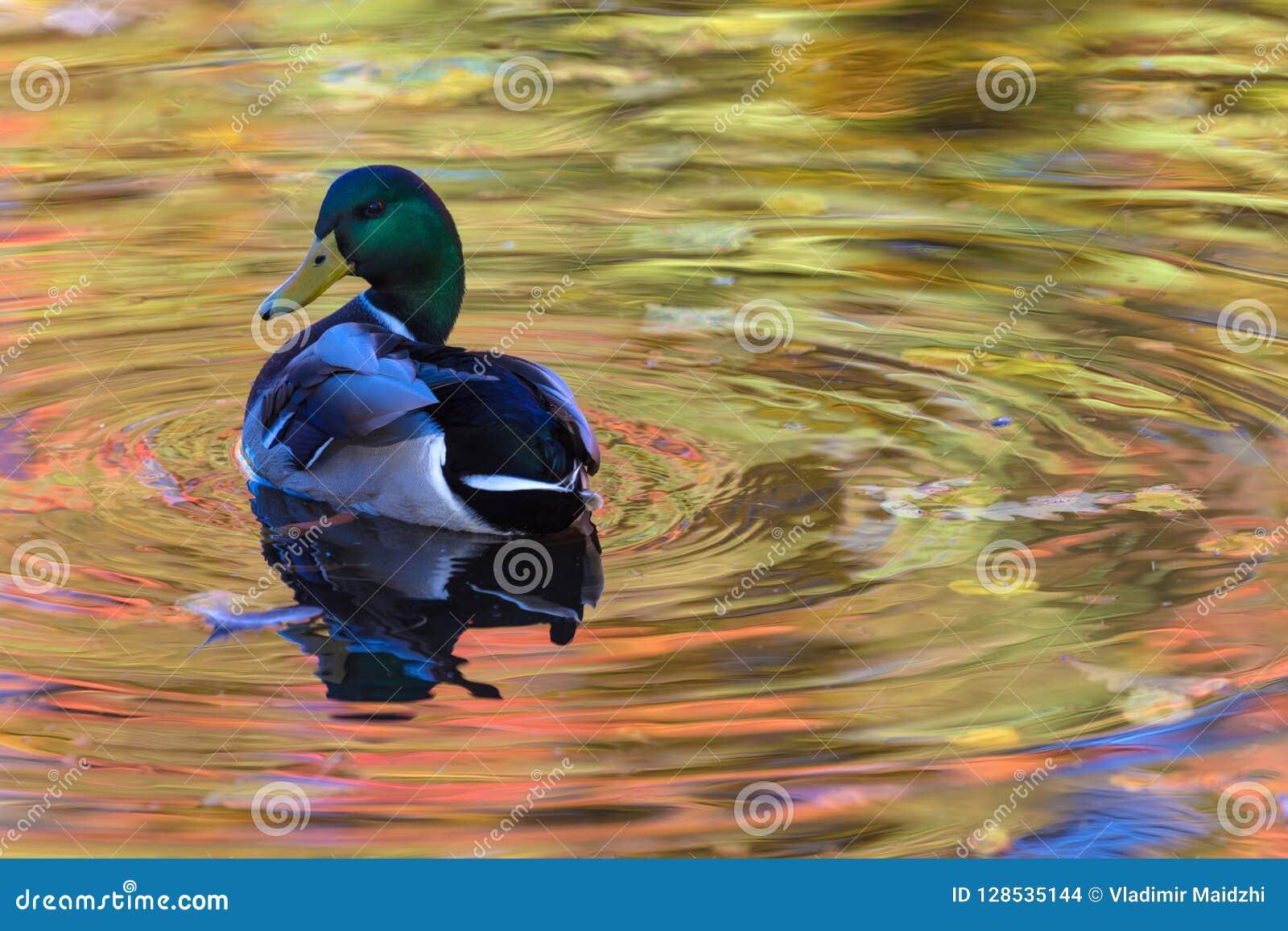 Kaczor w miasta jeziorze, kaczka lub funtowy cleaning upierzenie w wodzie lub barwiliśmy w kolorze żółtym, czerwieni i pomarańcze