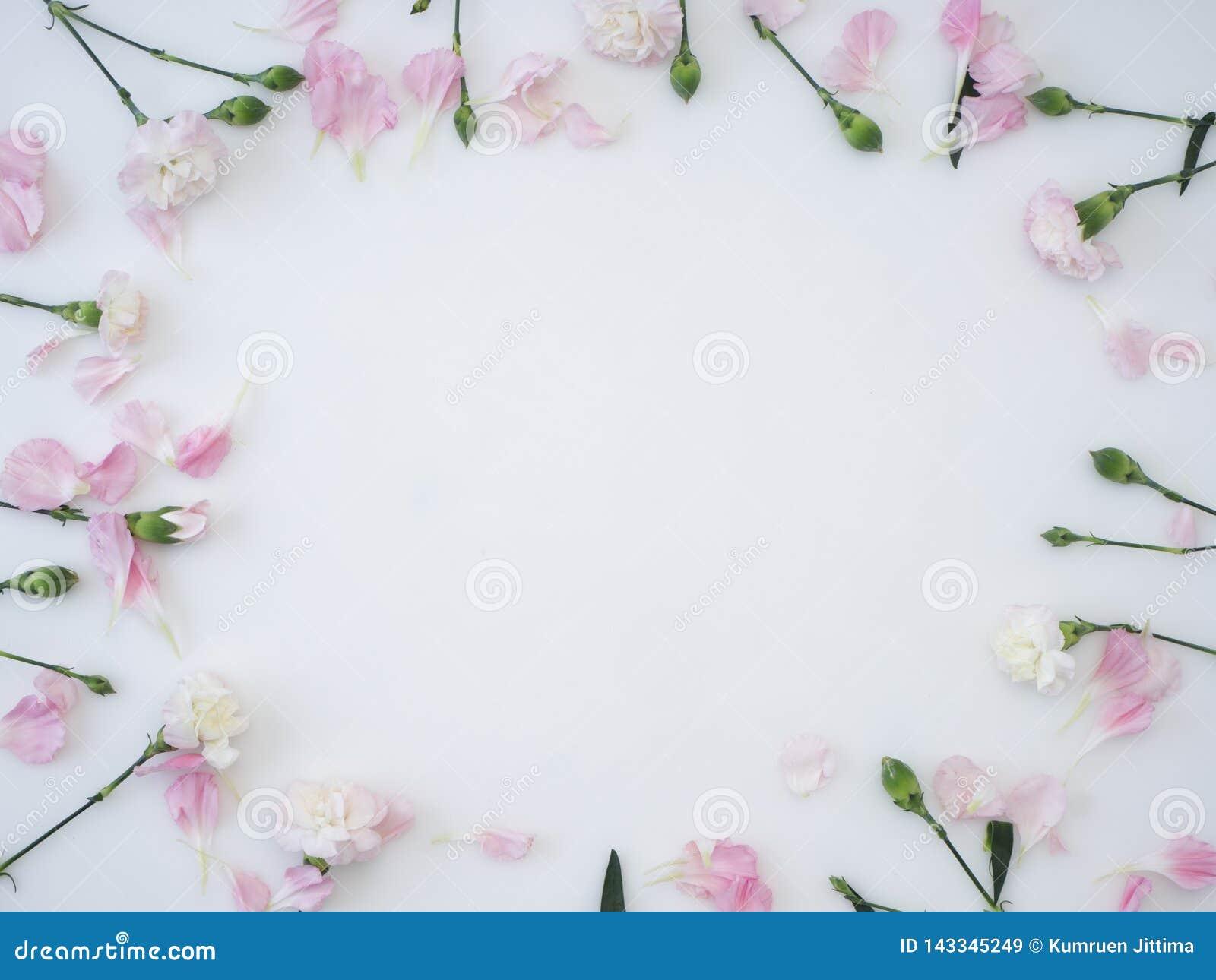Kader dat van anjer op een witte achtergrond wordt gemaakt
