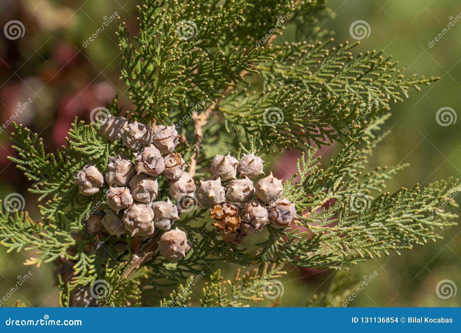 Kadzidłowi cedrowego drzewa Calocedrus decurrens rozgałęziają się z ziarnem,