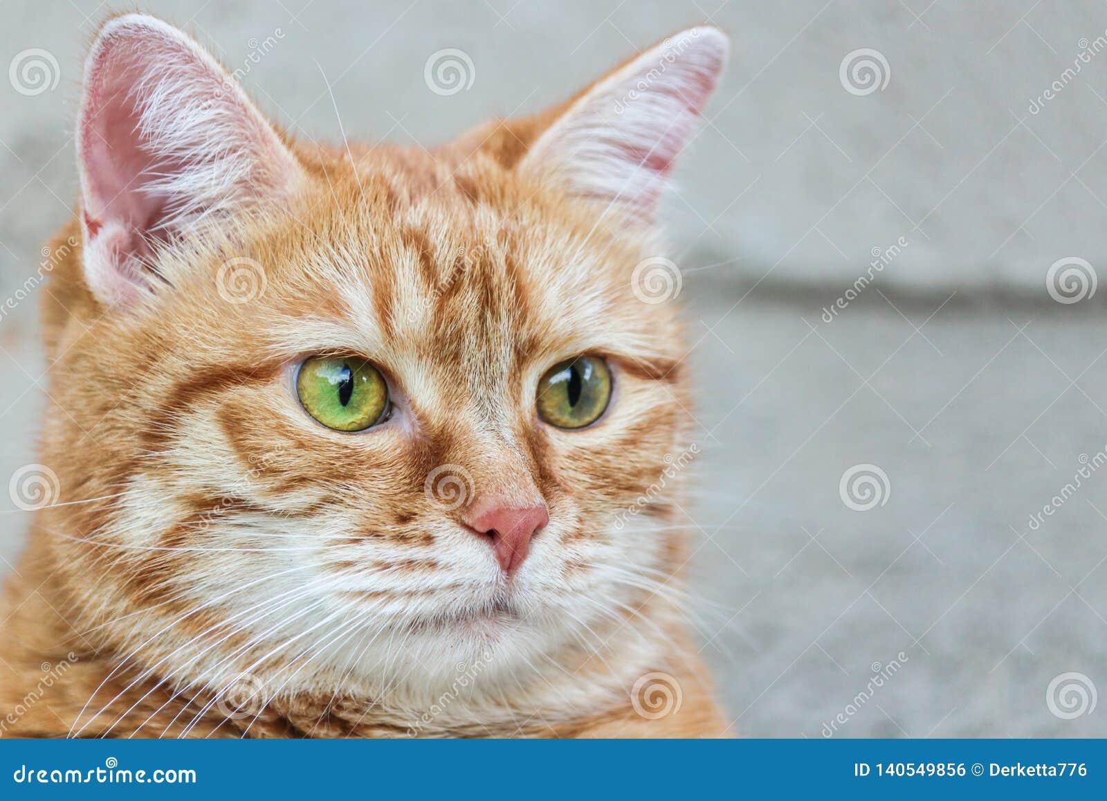 Kagana czerwony kot z czujny zielonych oczu gapić się z bliska Selekcyjna ostrość
