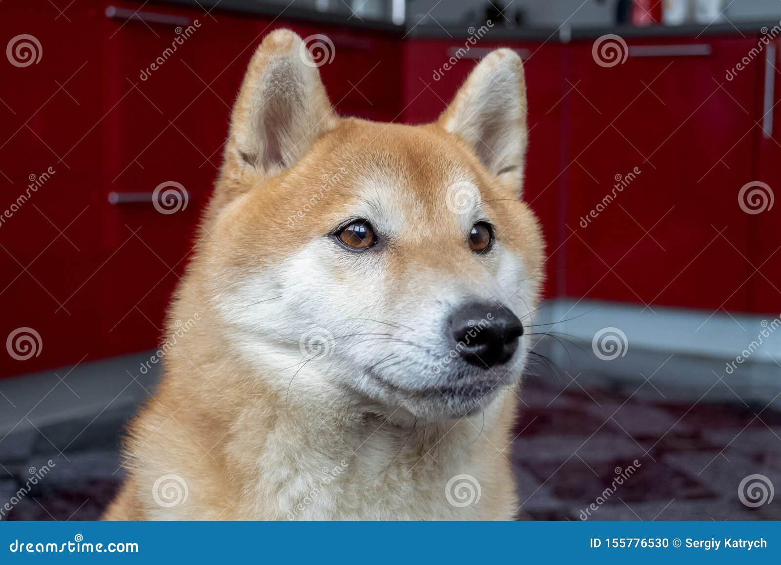 Kaganiec piękny imbiru pies Zamyka w g?r? portreta zwierz? domowe Shiba inu