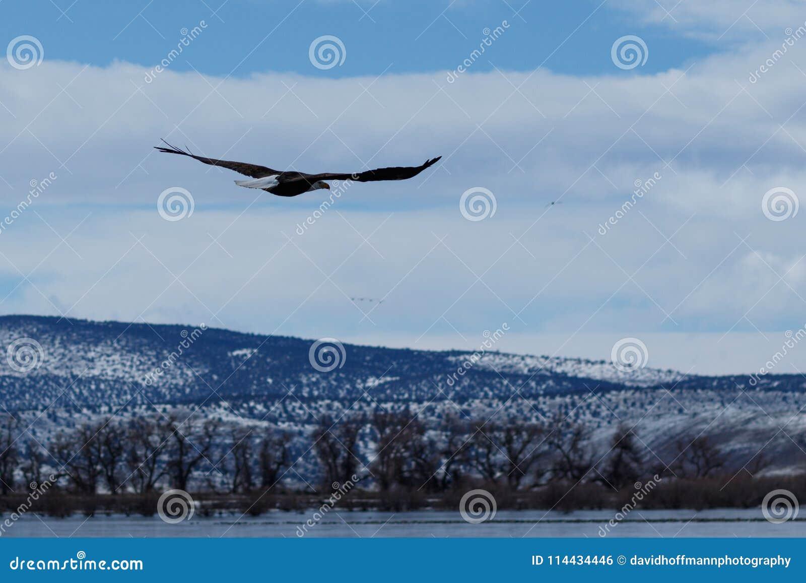 Kahl werdend Adler im Flug